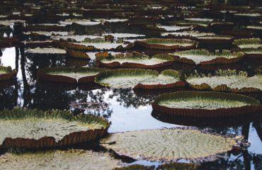 Botanical Garden - nenuphar